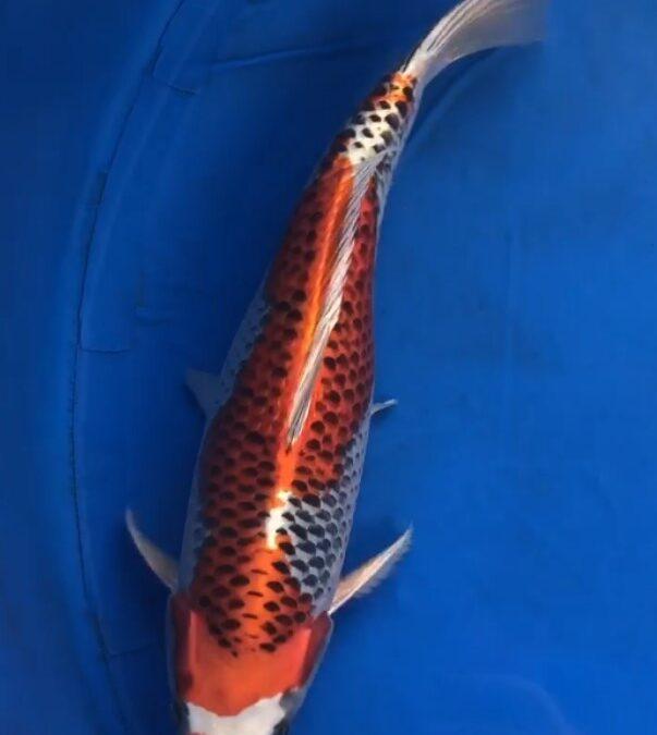Male Nissai 50cm approx