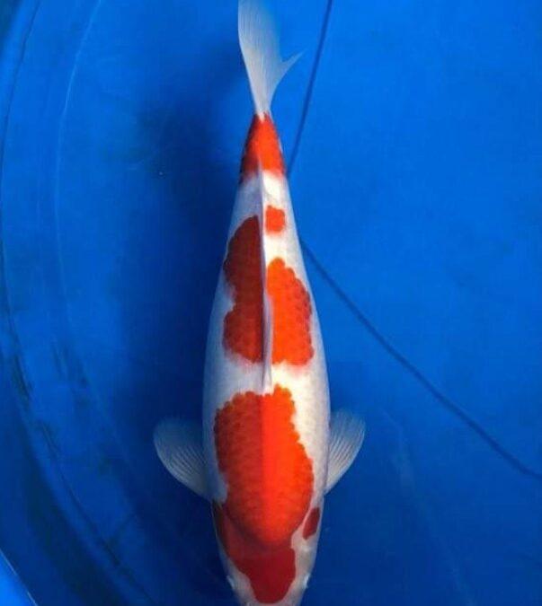 Nissai female kohaku 55 cm