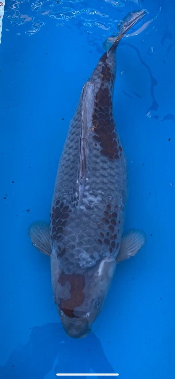 55cm ochiba female